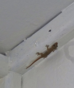 A chirping gecko clinging to the ceiling