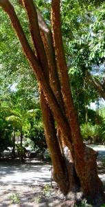 "the ""Tourist Tree"""