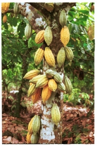 The cacao tree with pods