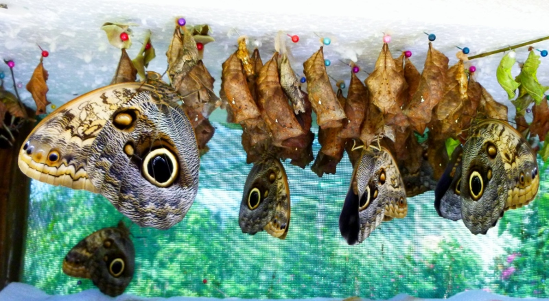 Butterflies hatching