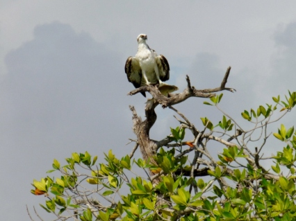 Sian Kaan - Osprey and fish