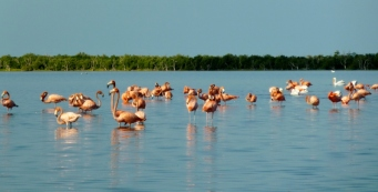 Flamingos and white pelicans - Rio Lagartos