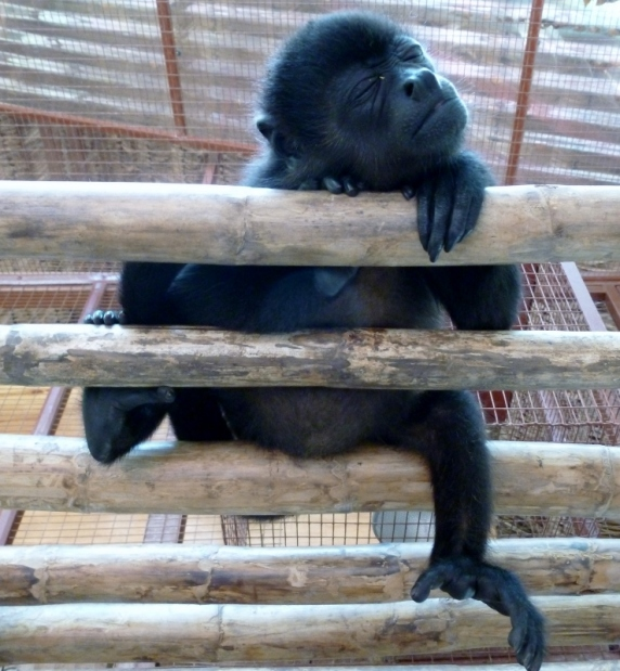 Baby howler monkey- Jaguar Sanctuary - near Puerto Viejo