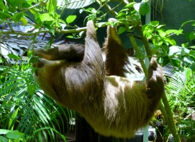 Two-toed sloth - Jaguar Sanctuary- Puerto Viejo