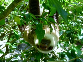 Up-side-down sloth - Jaguar Sanctuary - Puerto Viejo