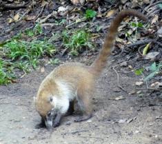 Coati - Villahermosa