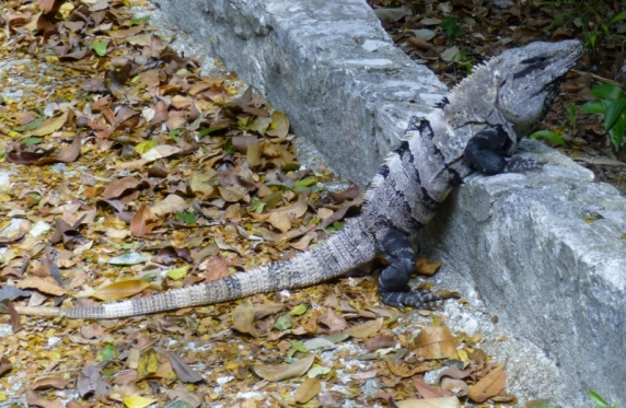 iguana killilng time - Puerto Morelos