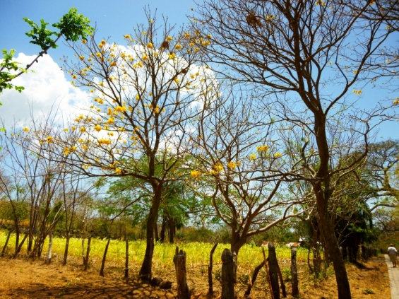 flowering trees in the dry season-Ometepe