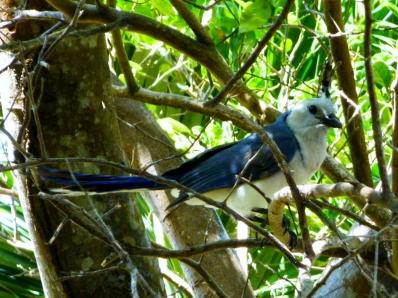 Blue Jay- Ometepe