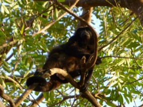 Howler monkey at Ometepe