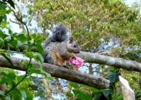 Squirrel with a flower - Selva Negra