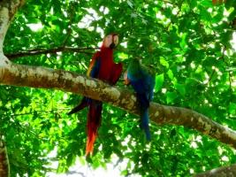 Macaws - roadside park between San Jose and Tamarindo