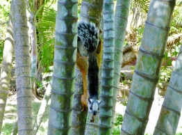 Varigated squirrel- Tamarindo