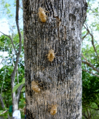 insect casings - Tamarindo