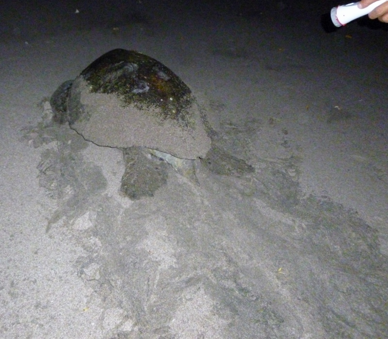 Sea turtles leave distinctive tracks along the beach which alerts guides that they've come ashore