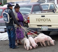 Pigs on a leash - Antigua,Guatemala