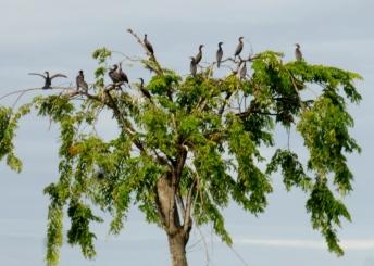 Cormorants at Lago Izabal - El Estor