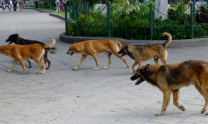 Grinning dogs on a jaunt through the Parque Central - Antigua,Guatemala
