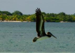 brown pelican in flight - Utila