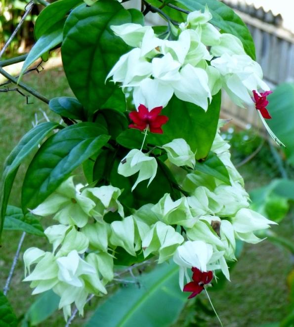 Flowers - Utila