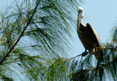 Brown Pelican in a tree - Utila