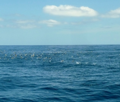 "A ""boil"" (whale sharks below force smaller fish to surface for bird feeding frenzy) Utila"