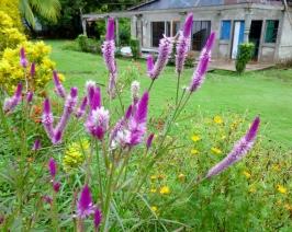 flowers - Big Corn Island