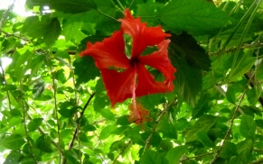 Flower - Little Corn Island