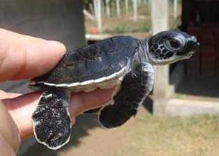 Image available at http://www.seaturtleinc.org/wp-content/uploads/2012/04/black-hatchling.jpg