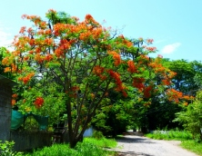 Flowering tree on a country road, Tamarindo