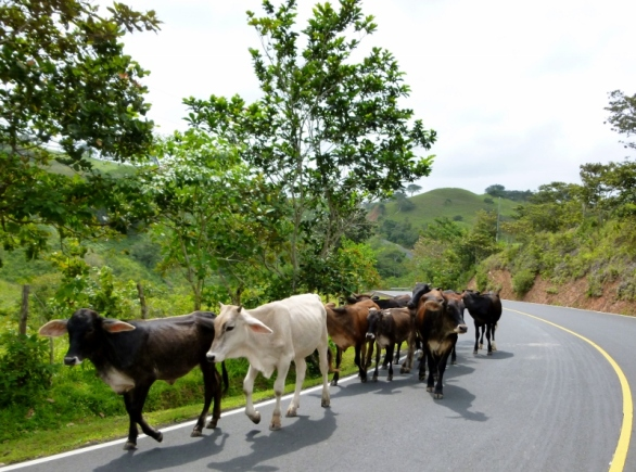 cows on the road Azuero Peninsula