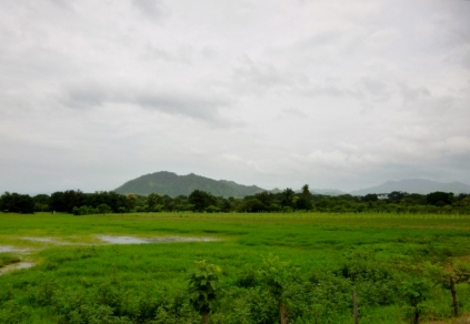 rice fields - Azuero Peninsula
