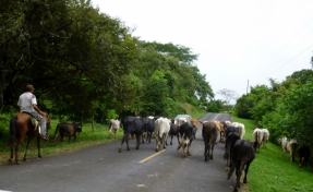 Herding the cows - modern day vaquero - Azuero Peninsula