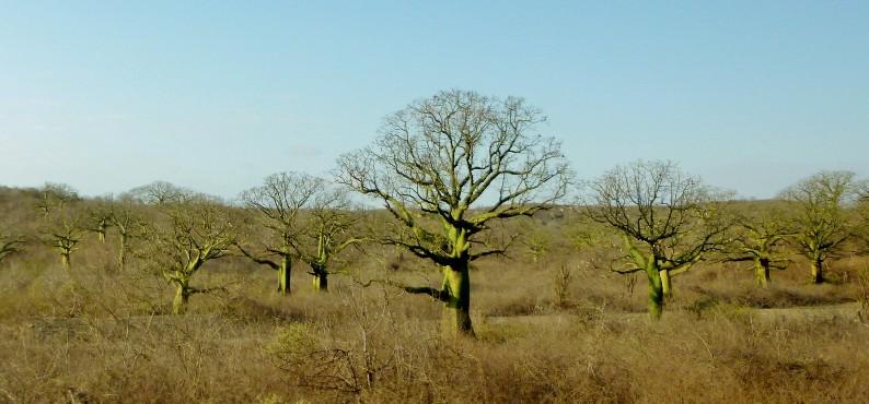 Ceibos near Manta