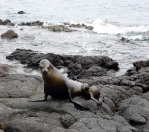 sea lion and cub - Galapagos Island
