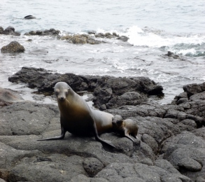 sea lion and cub - Galapagos Island