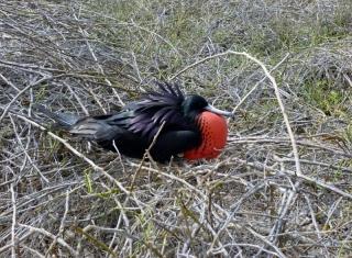 Magnificent Frigate Bird - Galapagos Islands