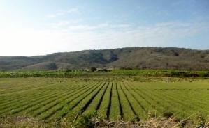 row crops growing near Manta