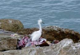 snowy egret - Manta