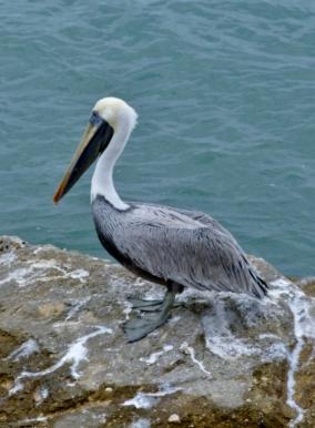 Peruvian pelican - Manta