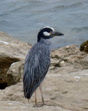 boat billed heron - Manta