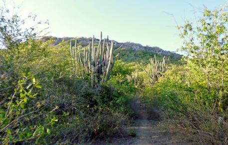 pillar cactus