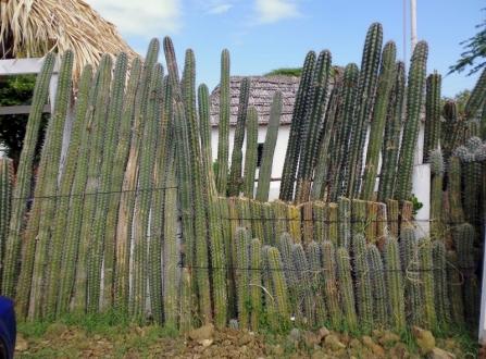 cactus fence at Kunuku Museum