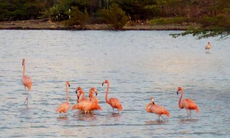 Flamingos in the salt flats at Landhuis Jan Kok