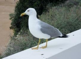 biggest, fattest seagull ever! Porches, Portugal