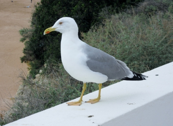 biggest, fattest seagull ever! Porches, Portugal
