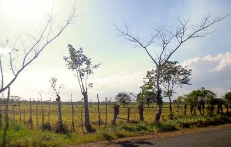 Living fence - Boca de Yuma - the drive - Dominican Republican