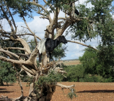 Goat in the argan trees - On the road to Essaouira, Morocco