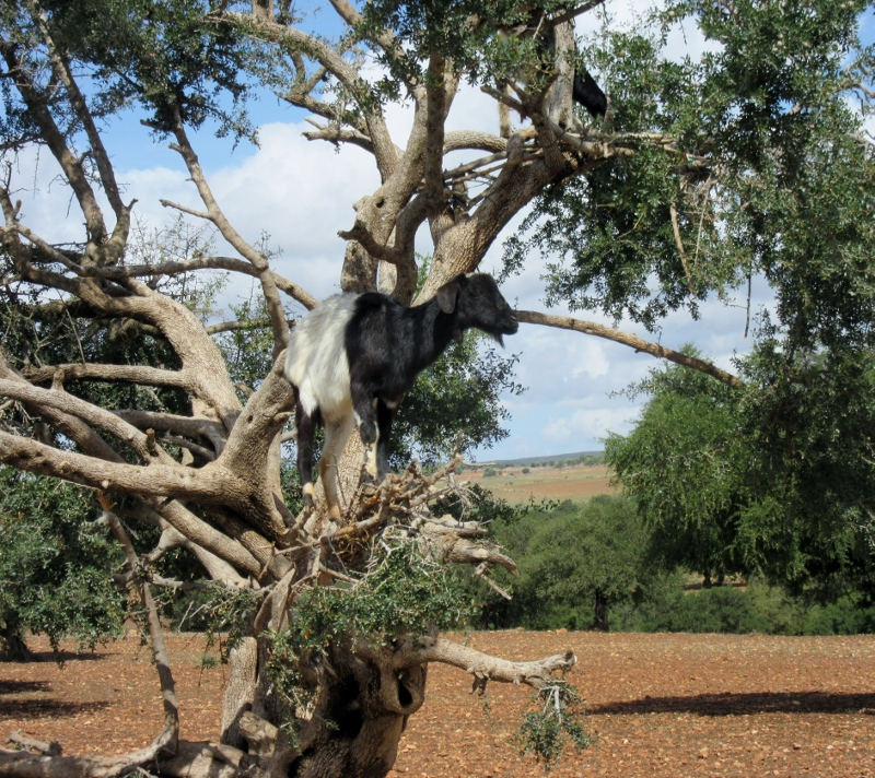 goat in the argan trees - On the road to Essaouira