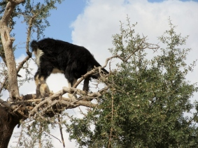A goat in Argan tree - On the road to Essaouira, Morocco.